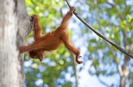 Malaysia borneo orangutan