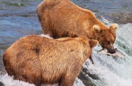bears alaska