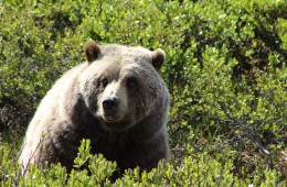 grizzly bear denali alaska